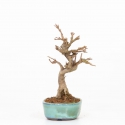 Acer buergerianum - Maple - 16 cm