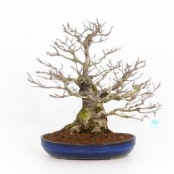 Magnolia kobus - 51 cm