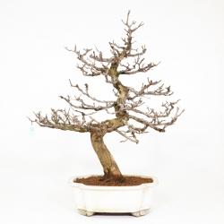 Punica granatum - Melograno - 71 cm