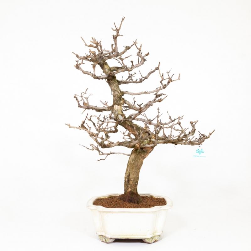 Punica granatum - Pomegranate - 71 cm