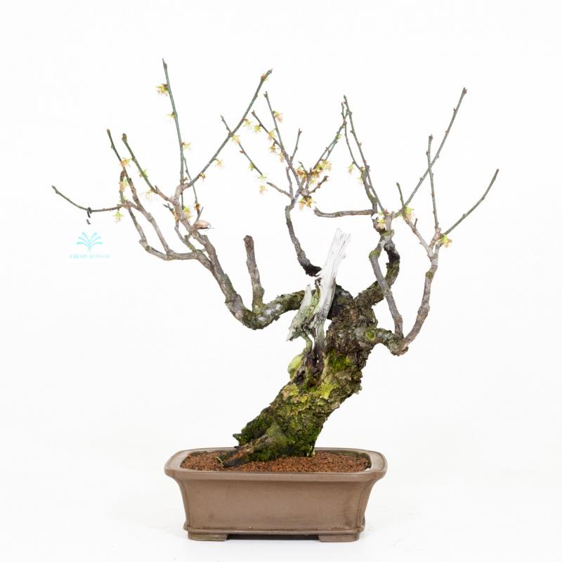 Prunus mume - 45 cm