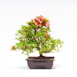 Azalea hanatsuzuri - 42 cm - KB48