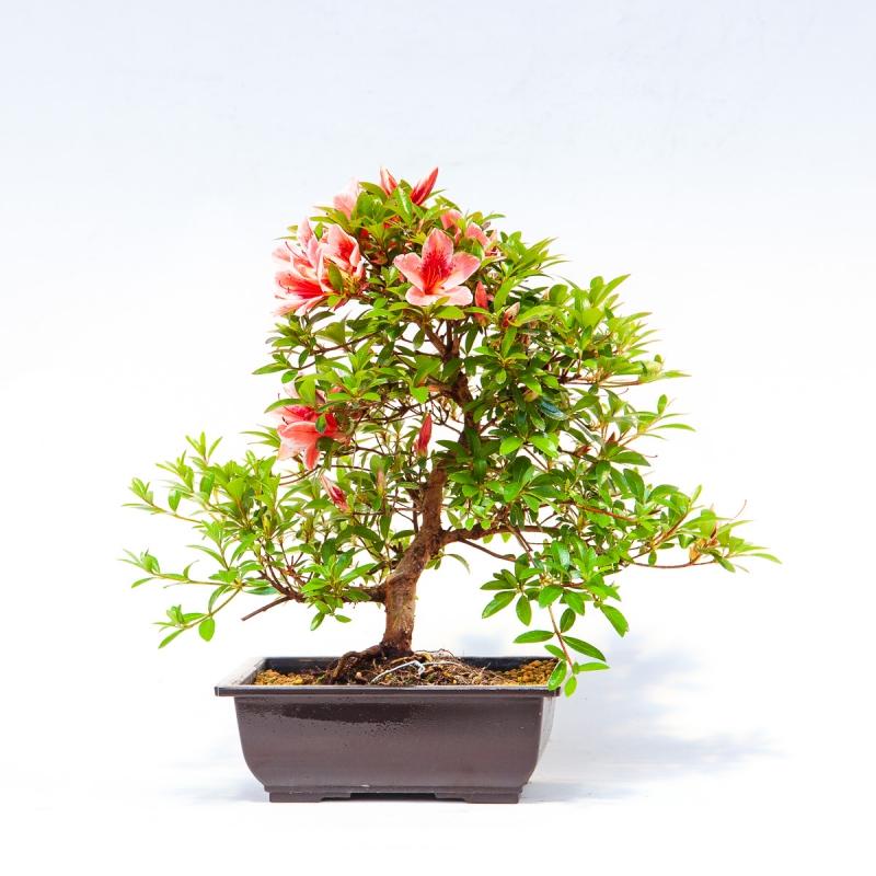 Azalea hanatsuzuri - 44 cm - KB48