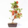 Azalea kokuryu - 42 cm - KB46
