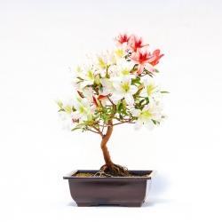 Azalea yukinko - 35 cm - KB47