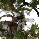 Juniperus rigida - Ginepro ad aghi - 58 cm