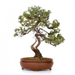 Juniperus rigida - Temple juniper - 58 cm