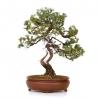 Juniperus rigida - Genévrier rigide - 58 cm