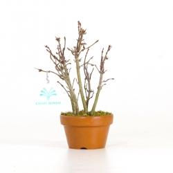 Acer palmatum viridis - Érable - 19 cm
