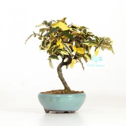 Elaeagnus pungens variegated - 19 cm