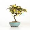 Elaeagnus pungens variegato - 19 cm