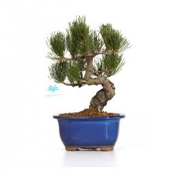 Pinus pentaphylla - 29 cm