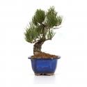 Pinus pentaphylla - Pine - 29 cm