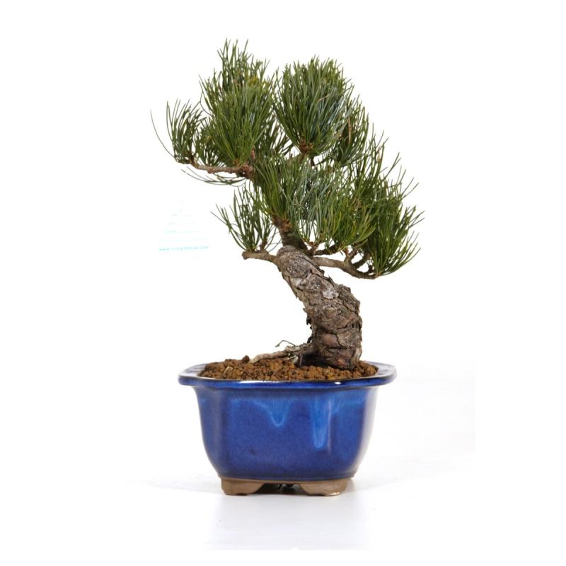 Pinus pentaphylla - Pin - 29 cm