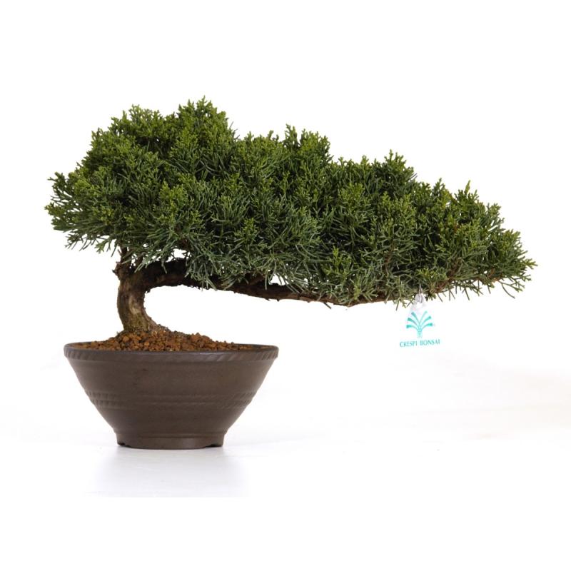 Juniperus chinensis - Juniper - 25 cm