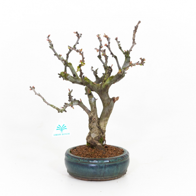 Chaenomeles - 39 cm