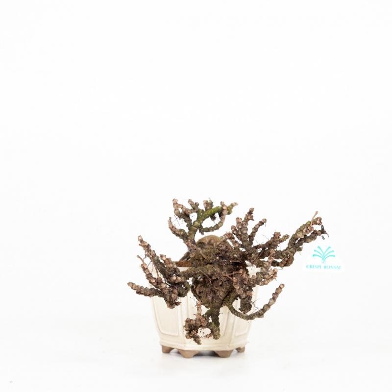 Partenocyssus - 27 cm