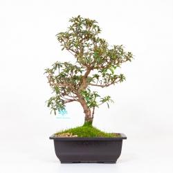 Azalea Aiko - 42 cm