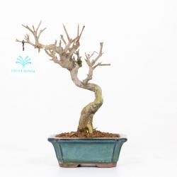 Punica granatum - melograno - 24 cm