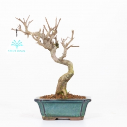 Punica granatum - Pomegranate - 24 cm