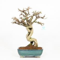Ligustrum obtusifolium - Troène - 42 cm