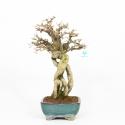 Ligustrum obtusifolium - Ligustro - 42 cm