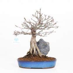 Acer palmatum - Érable - 33 cm