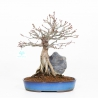 Acer palmatum - Acero - 33 cm