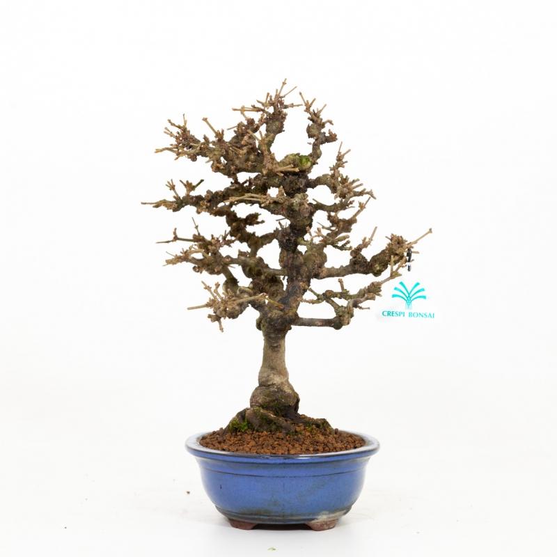 Viburnum dilatatum - 37 cm
