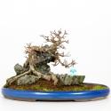 Acer buergerianum - Acero - 31 cm