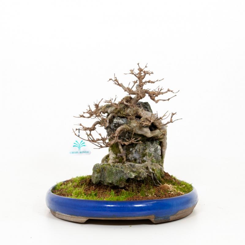 Acer buergerianum - Érable - 31 cm