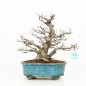 Fagus crenata - Japanese beech - 28 cm