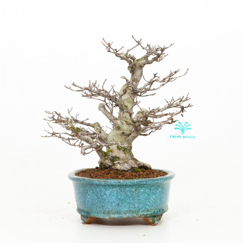 Fagus crenata - Faggio - 28 cm