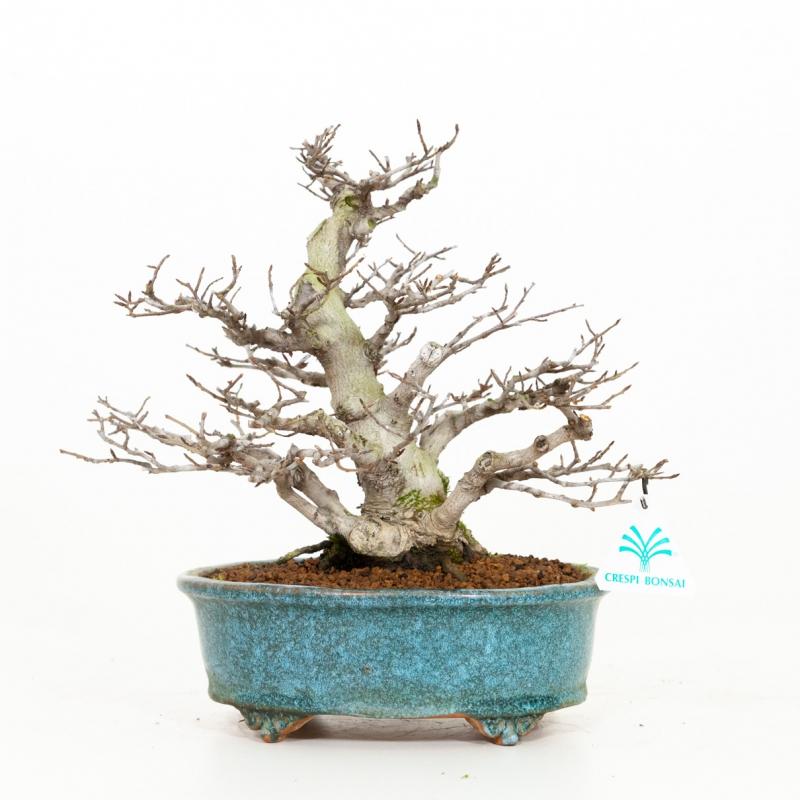 Fagus crenata - Hêtre du Japon - 28 cm