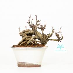 Akebia quinata - Akebia a cinque punte - 19 cm