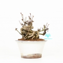 Akebia quinata - 19 cm
