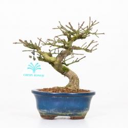 Euonymus sieboldianus - 19 cm