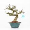 Euonymus sieboldianus - Fusain - 19 cm