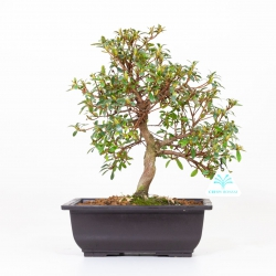 Azalea Kyokuko - 32 cm