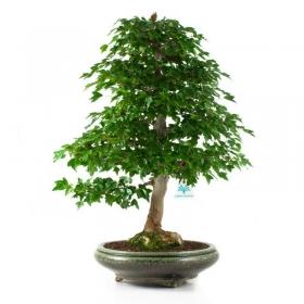Acer buergerianum - acero - 61 cm