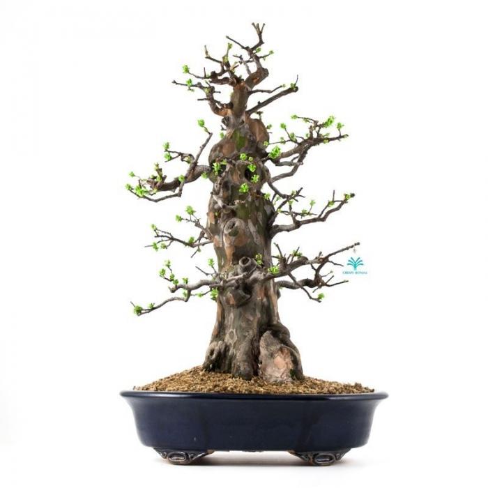 Cydonia - cotogno - 63 cm