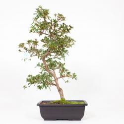 Azalea Sakurahime - 51 cm