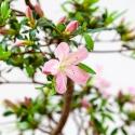 Azalea Sakurahime - 56 cm