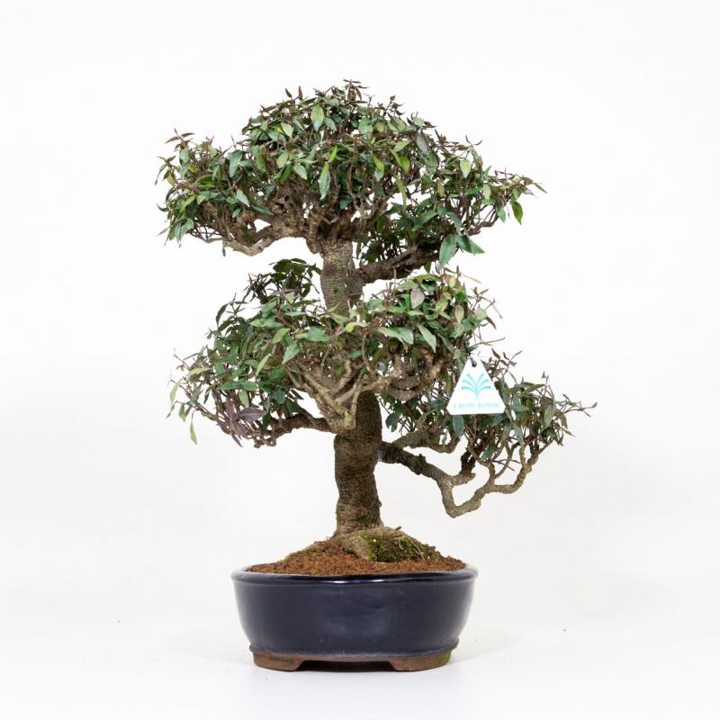 Trachelospermum asiaticum - 46 cm