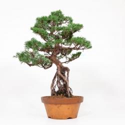 Juniperus chinensis - 56 cm