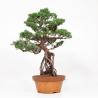 Juniperus chinensis - Juniper - 56 cm