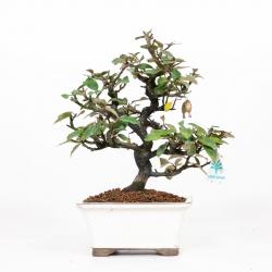 Elaeagnus pungens - Olivagno pungente - 31 cm
