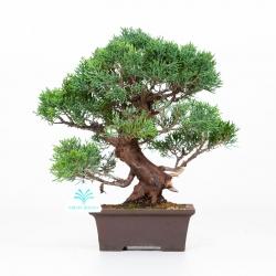Juniperus chinensis - Genévrier de Chine - 30 cm