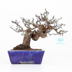 Pseudocydonia - 21 cm