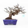 Pseudocydonia - Quince - 21 cm